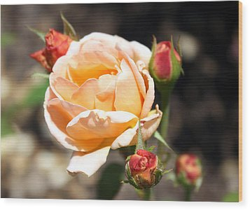 Wood Print featuring the photograph Beautiful Peach Orange Rose by Ellen Tully