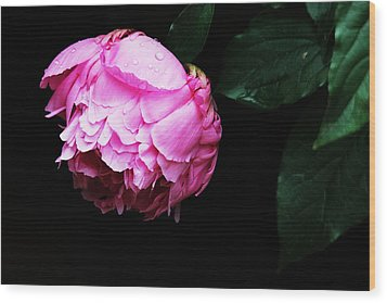 Beautiful Peony Wood Print by Trina  Ansel