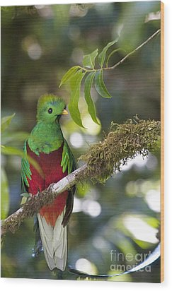 Beautiful Quetzal 1 Wood Print by Heiko Koehrer-Wagner
