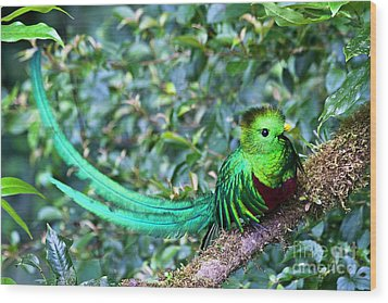 Beautiful Quetzal 3 Wood Print by Heiko Koehrer-Wagner