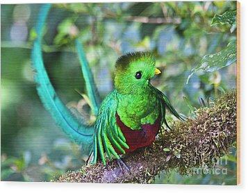 Beautiful Quetzal 5 Wood Print by Heiko Koehrer-Wagner