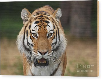 Beautiful Siberian Tiger Wood Print by Boon Mee