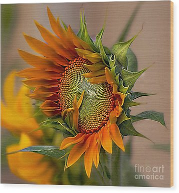 Beautiful Sunflower Wood Print by John  Kolenberg