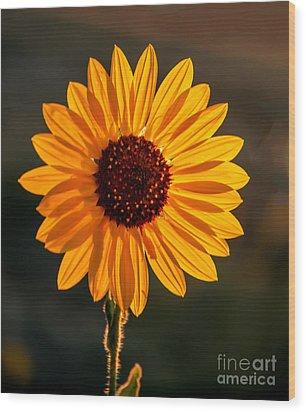 Beautiful Sunflower Wood Print by Robert Bales