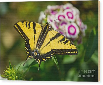 Beautiful Western Tiger Swallowtail Butterfly On Spring Flowers. Wood Print by Jamie Pham