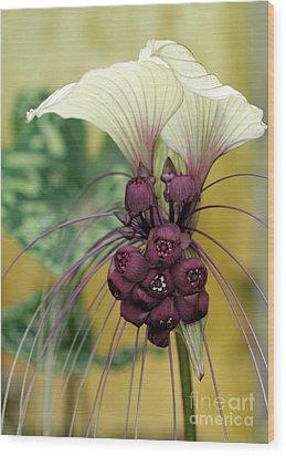 Beautiful White Bat Flower Wood Print by Sabrina L Ryan