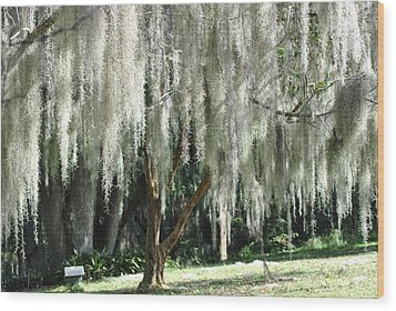 Wood Print featuring the photograph Beautiful White Spanish Moss Hanging From Trees by Jodi Terracina