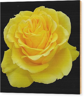Beautiful Yellow Rose Flower On Black Background  Wood Print by Tracey Harrington-Simpson