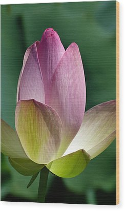 Beauty Unfolding Wood Print by Cindy McDaniel