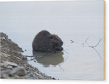 Beaver In The Shallows Wood Print by Chris Flees