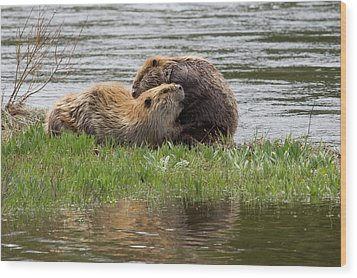 Beaver Pair Grooming One Another Wood Print by Ken Archer