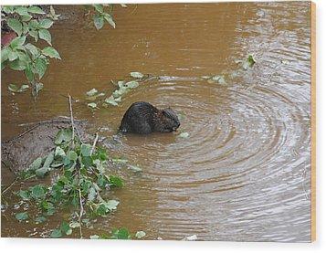 Beaver Youngster At Lunch Wood Print by Sandra Updyke
