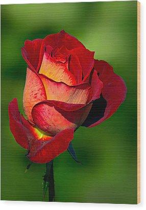 Becoming A Rose Wood Print by Tomasz Dziubinski