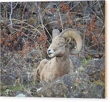 Wood Print featuring the photograph Bedded Bighorn by Steve McKinzie