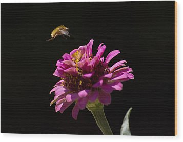 Bee Fly In Flight Wood Print by Shelly Gunderson