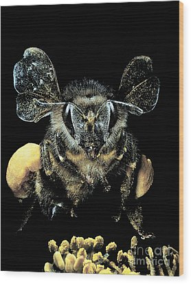 Bee Loaded With Pollen Wood Print by Darwin Dale