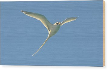 Bermuda Longtail In Flight Wood Print by Jeff at JSJ Photography