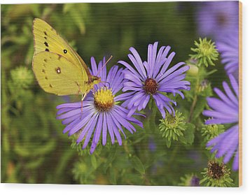 Wood Print featuring the photograph Best Friends - Sulphur Butterfly On Asters by Jane Eleanor Nicholas