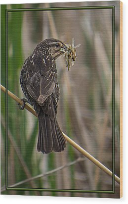 Big Dinner For Female Red Winged Blackbird II Wood Print by Patti Deters