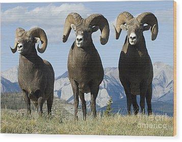Big Horn Sheep Wood Print by Bob Christopher