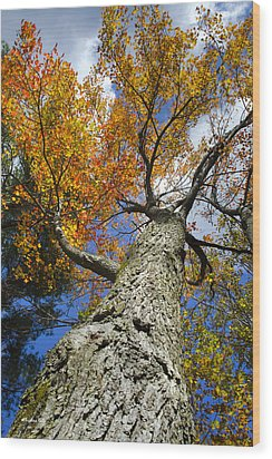 Big Orange Maple Tree Wood Print by Christina Rollo