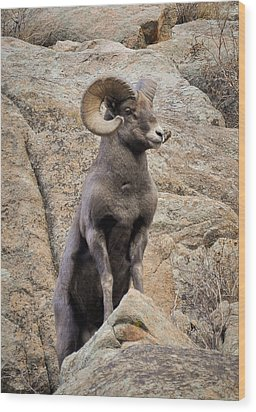 Wood Print featuring the photograph Bighorn Big Boy by Kevin Munro