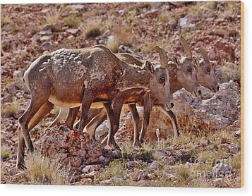 Wood Print featuring the photograph Bighorn Canyon Sheep Trio by Janice Rae Pariza
