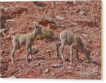 Wood Print featuring the photograph Bighorn Canyon Sheep Wyoming by Janice Rae Pariza