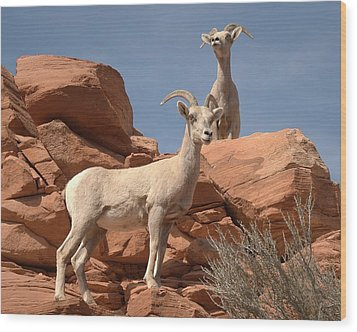 Wood Print featuring the photograph Bighorn Ewes by Jeff Cook