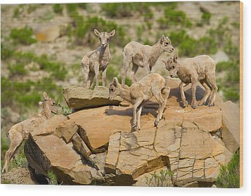 Wood Print featuring the photograph Bighorn Playground by Aaron Whittemore