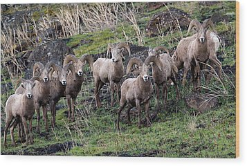 Wood Print featuring the photograph Bighorn Reunion by Steve McKinzie