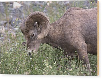 Wood Print featuring the photograph Bighorn Sheep by Chris Scroggins