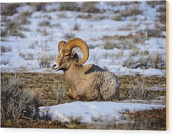 Bighorn Sheep Wood Print by Greg Norrell