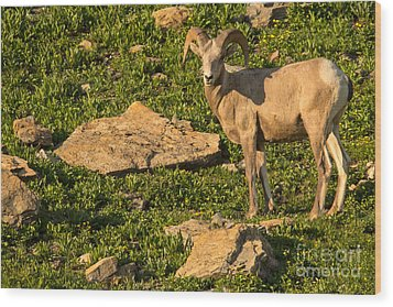 Bighorn Sheep Ram In Glacier 2 Wood Print by Natural Focal Point Photography