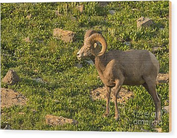 Bighorn Sheep Ram In Glacier 3 Wood Print by Natural Focal Point Photography