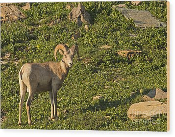 Bighorn Sheep Ram In Glacier 4 Wood Print by Natural Focal Point Photography