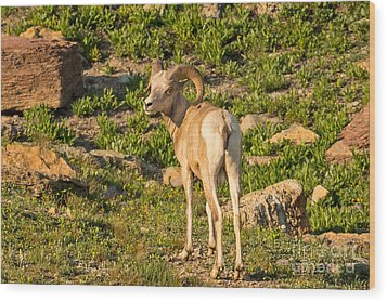 Bighorn Sheep Ram In Glacier Wood Print by Natural Focal Point Photography