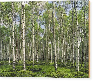 Birch Tree Grove In Summer Wood Print by Randall Nyhof