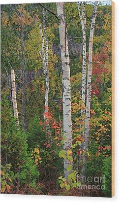 Birches In Fall Wood Print
