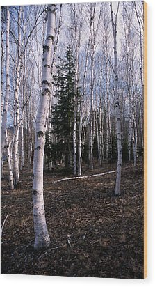 Birches Wood Print by Skip Willits