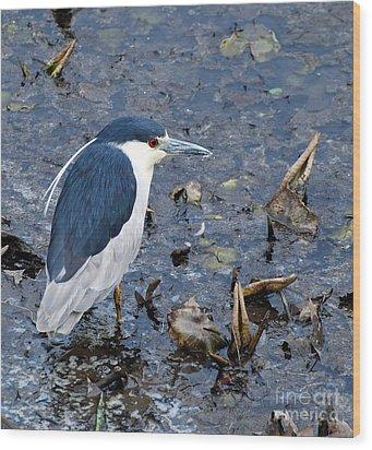 Bird - Black Crowned Night Heron Wood Print by Paul Ward