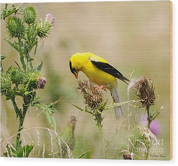 Bird -gold Finch Feasting  Wood Print by Paul Ward