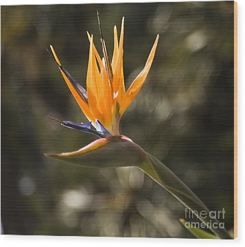 Bird Of Paradise Wood Print by David Millenheft