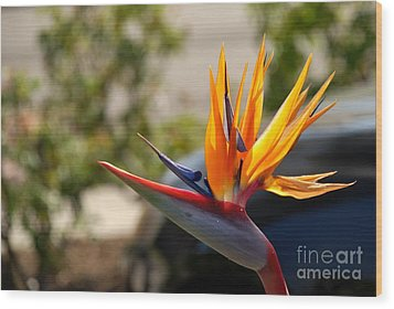 Bird Of Paradise Wood Print by Leo Sopicki