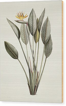 Bird Of Paradise Wood Print by Pierre Joseph Redoute