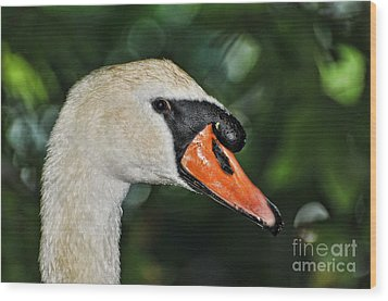 Bird - Swan - Mute Swan Close Up Wood Print by Paul Ward