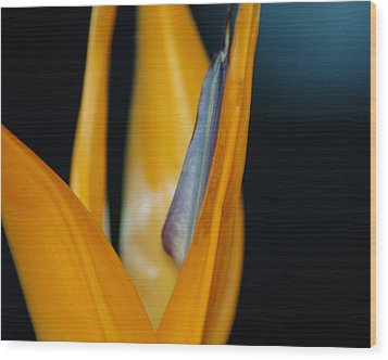 Wood Print featuring the photograph Birds Of Paradise by Matt Harang