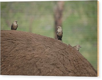 Birds On Back Of Bison Wood Print by William Howard