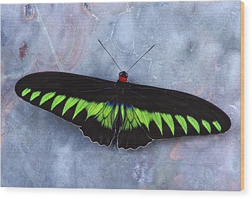 Birdwing Butterfly Trogonoptera  Wood Print by Robert Jensen