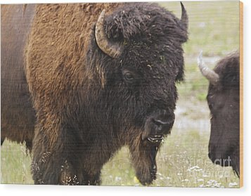 Bison From Yellowstone Wood Print by Belinda Greb
